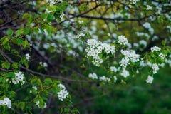 Schöner Frühling blüht Fahne Nahaufnahme der Azalee-Blume Blühen Sie das Blühen zur Frühlingszeit, Blumenhintergrund Wundervoller lizenzfreies stockfoto