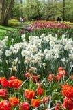 Schöner Frühling blüht im Frühjahr Garten Keukenhof, Lisse, die Niederlande Stockfotografie