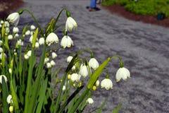 Schöner Frühling Lillies Lizenzfreies Stockfoto