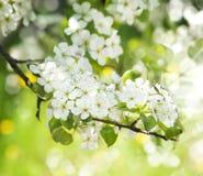 Schöner Frühlings-blühender Baum-Hintergrund Lizenzfreies Stockfoto
