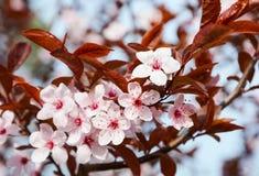 Schöner Frühlings-Kirschblütenhintergrund Lizenzfreies Stockfoto