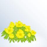 Schöner Frühlingshintergrund mit Eranthis Cilicica im Schnee für Glückwünsche mit Frühling oder Frauen ` s Tag feiertag Stockfotos