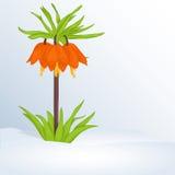 Schöner Frühlingshintergrund mit Fritillaria Imperialis im Schnee für Glückwünsche mit Frühling oder der Frauen Tag feiertag Lizenzfreies Stockbild