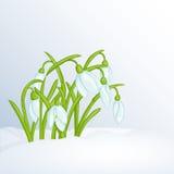 Schöner Frühlingshintergrund mit Schneeglöckchen im Schnee für Glückwünsche Stockfotografie