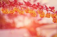 Schöner Frühlingshintergrund Verzweigt sich Berberitzenbeere mit kleiner Schärfentiefe des Sonnenscheins Lizenzfreies Stockfoto