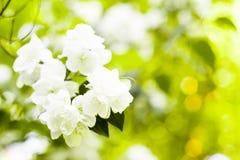 Schöner FrühlingsHolzapfelbaum blüht gegen einen unscharfen ruhigen grünen Hintergrund mit bokeh stockfotos