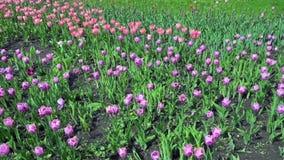 Schöner Frühlingspark bedeckt durch die frischen Blumen rosa und die purpurroten Tulpen stock video