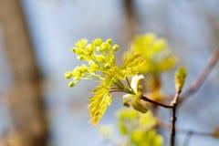 Schöner Frühlingszeitblumenhintergrund Blühende Ahornbaumniederlassung, färben Blumen und frische Blattnahaufnahme gelb vorgewähl Lizenzfreie Stockbilder