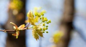 Schöner Frühlingszeitblumenhintergrund Blühende Ahornbaumniederlassung, färben Blumen und frische Blattnahaufnahme gelb vorgewähl Stockbilder