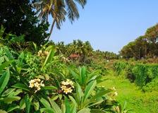 Schöner Frangipani blüht in Candolim, Goa, Indien Stockfoto