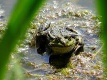 Schöner Frosch auf der Bank des Sees stockbilder