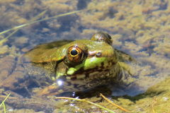 Schöner Frosch im ruhigen und klaren Wasser stockfoto