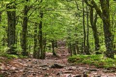 Fußweg in einem schönen grünen Wald Stockfotografie