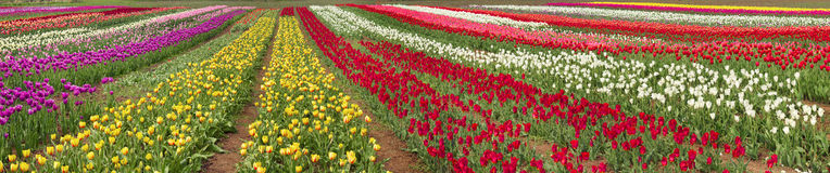 Schöner Garten der Blütezeit blüht Tulpen stockfotos