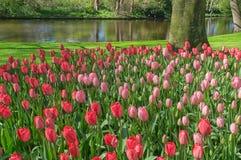 Schöner Garten mit Rot und rosa Tulpen mit ihren grünen Blättern mit einem Teich im Hintergrund an einem wunderbaren und sonnigen lizenzfreie stockbilder