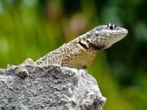 Schöner Gecko, der über der Wand steht Lizenzfreies Stockfoto