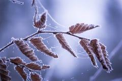 Schöner gefrorener Baumast mit toten Blättern Stockfoto