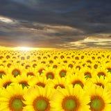 Schöner gelber Hintergrund der Sonnenblume Stockfotografie