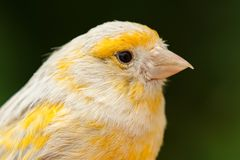Schöner gelber Kanarienvogel stockbild