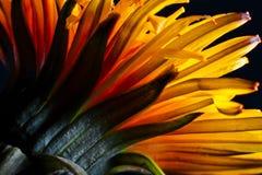 Schöner gelber Löwenzahnabschluß oben. Stockfotos