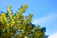 Schöner gelber Mimosenbaum in Portugal-Wald stockfoto
