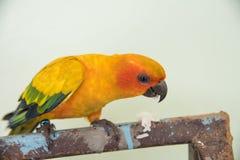 Schöner gelber Papagei, Vogel Nahaufnahme Sun Conure, der Lebensmittel isst Lizenzfreies Stockfoto
