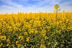 schöner gelber Rapssamen der Nahaufnahme blüht auf Feld in der Blüte Lizenzfreie Stockbilder