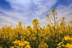 schöner gelber Rapssamen der Nahaufnahme blüht auf Feld in der Blüte Stockfotos