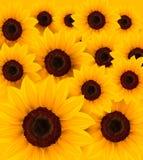 Schöner gelber Sonnenblumehintergrund Stockbild