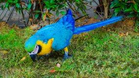 Schöner gelber und blauer macore Papageienvogel Lizenzfreies Stockfoto
