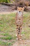 Schöner Gepard Gepard, Acinonyx jubatus Stockfotos