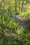 Schöner Glockenblumewald im Frühjahr Stockfotos