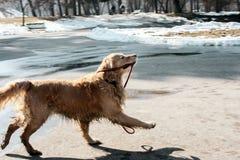 Schöner golden retriever-Welpe, der seine Leine glücklich im Winter hält stockfotografie