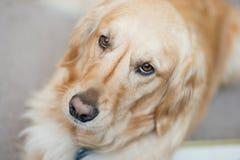 Schöner goldener Apportierhund lizenzfreie stockfotos