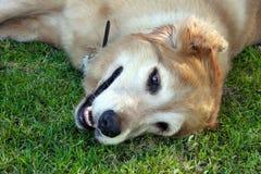 Schöner goldener Apportierhund Lizenzfreie Stockbilder
