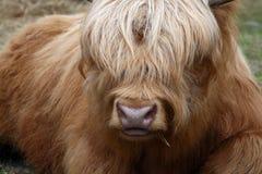 Schöner goldener Ochse mit langer Haarbedeckung mustert Stockfoto