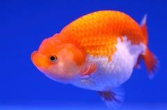 Schöner Goldfisch mit blauem Hintergrund Stockbild