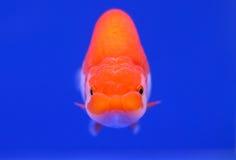 Schöner Goldfisch mit blauem Hintergrund Stockfoto