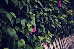 Schöner grüner Bouganvillabusch mit purpurroten Blumen in einem Garten Stockfotografie