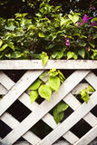 Schöner grüner Bouganvillabusch mit purpurroten Blumen hinter wh Lizenzfreie Stockfotos