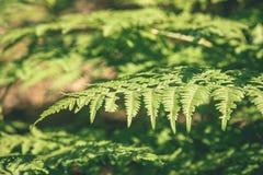 schöner grüner Farn verlässt unter Sonnenlicht im Wald - vint Stockbild