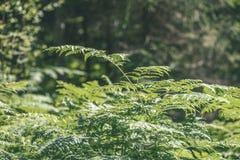 schöner grüner Farn verlässt unter Sonnenlicht im Wald - vint Stockfotografie