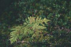 schöner grüner Farn verlässt unter Sonnenlicht im Wald - vintag Stockbilder