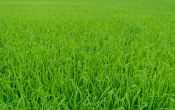 Schöner grüner Feldhintergrund des ungeschälten Reises stockbilder