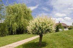 Schöner grüner Garten mit einem Weg, der zwischen zwei japanische Weidenbäume geht Lizenzfreies Stockfoto