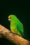 Schöner grüner Papagei Amazonavogel im Waldlebensraum, sitzend auf dem Baum mit den grünen Blättern, versteckt im Wald, Costa Ric Lizenzfreie Stockfotografie