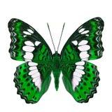 Schöner grüner Schmetterling, gemeiner Kommandant (moduza procris) unter den Flügelanteilen an fantastischem Farbprofil lokalisie lizenzfreie stockfotos