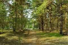 Schöner grüner Wald der Kiefer im Frühjahr bei Sonnenuntergang fichten stockbilder