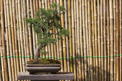Schöner Granatapfel-Bonsai-Baum Stockbilder