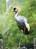 Schöner Grey Crowned Crane-Vogel Stockbild